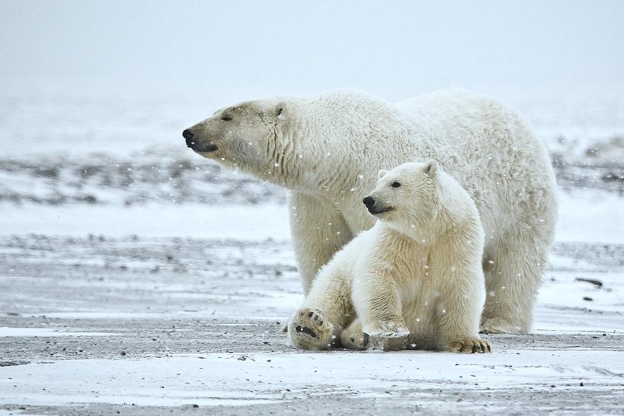 Polar bears in the arctic